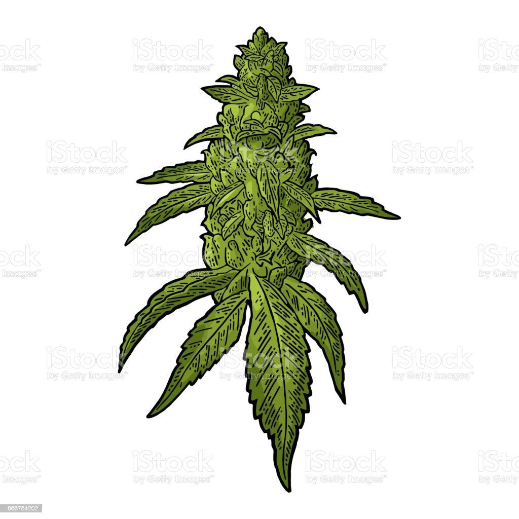 royalty free marijuana bud clip art vector images illustrations rh istockphoto com marijuana leaf clip art marijuana leaves clip art
