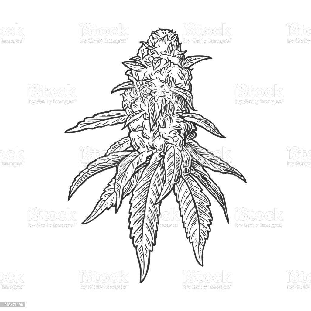 Mature Plants De Marijuana Avec Des Feuilles Et Des Bourgeons