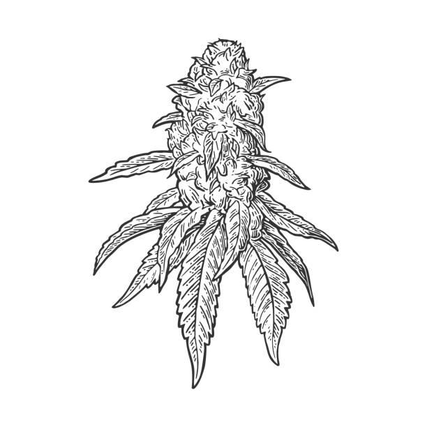 Marijuana Bud Illustrations, Royalty-Free Vector Graphics