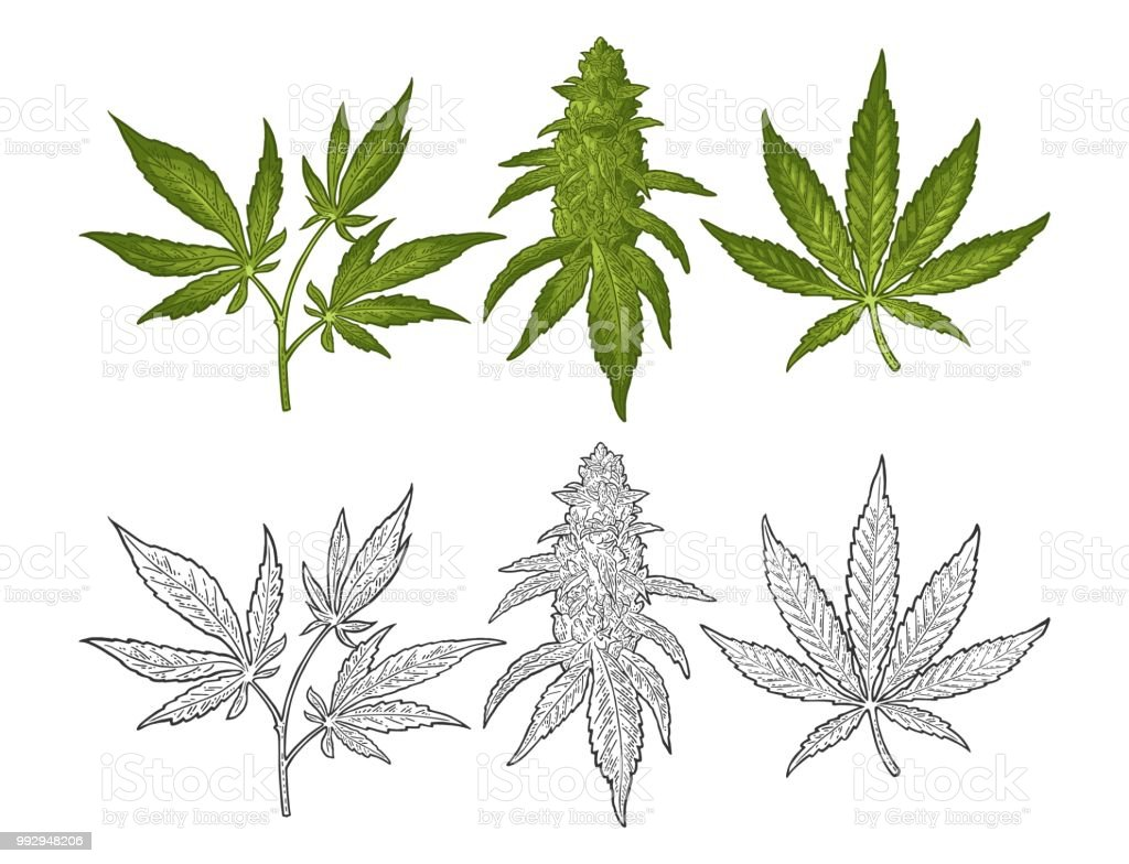 Marijuana mature plant with leaves and buds. Vector engraving illustration vector art illustration