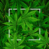 Marijuana or Cannabis Leaf background. Realistic vector illustration of the plant in top view.