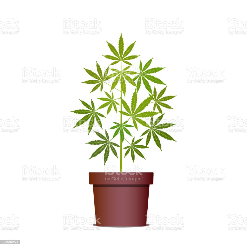 marihuana oder cannabis pflanze im topf kr uter in einen topf geben anbau von cannabis stock. Black Bedroom Furniture Sets. Home Design Ideas