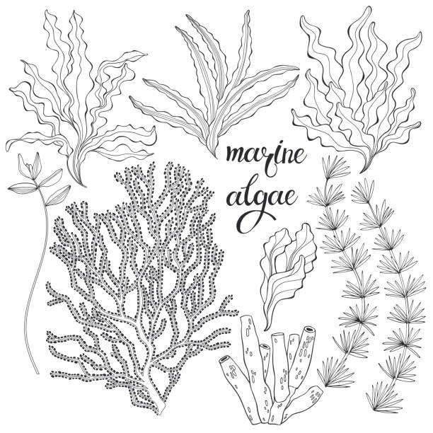 meeresalgen. vector handgezeichnete illustration auf weißem hintergrund. sammlung von isolierten umrisselementen für das design. - algen stock-grafiken, -clipart, -cartoons und -symbole