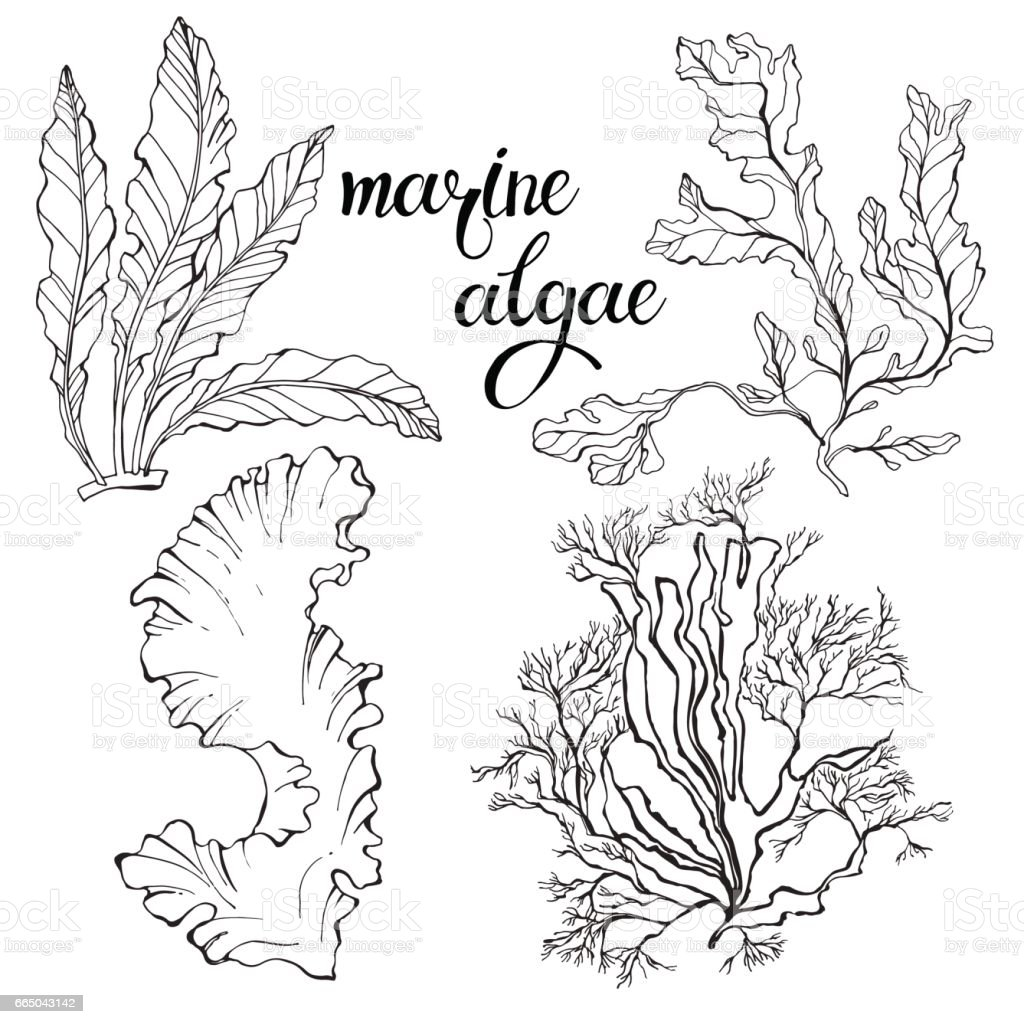 Marine algae.  Vector hand-drawn illustration on a white background. Collection of isolated outline elements for design. - ilustración de arte vectorial