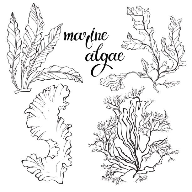 algae illustration top 60 seaweed clip art vector graphics and illustrations 4141