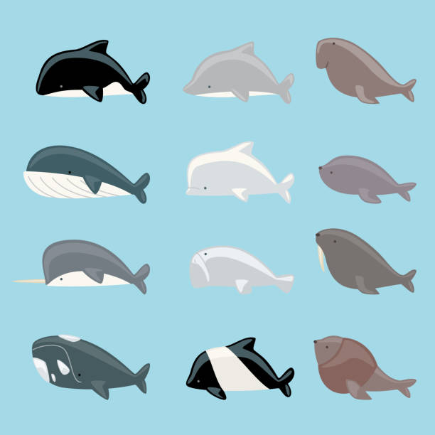 Marine mammals collection Marine mammals icon collection, with whale, dolphin, manatee, beluga, killer whale, narwhal, walrus, sea lion, blue whale vector illustration. beluga whale stock illustrations