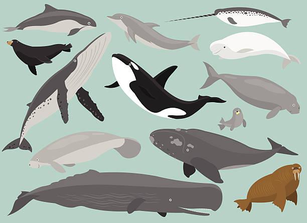Marine Mammals 13 Marine Mammals in simplified flat vector cartoon including Porpoise, Dolphin,  beluga whale stock illustrations