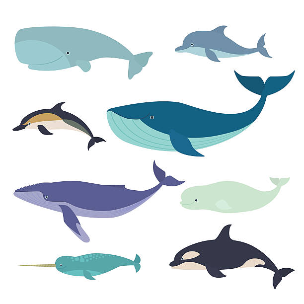 Marine mammals Vector illustration of whales and dolphins, such as narwhal, blue whale, dolphin, beluga whale, humpback whale and the sperm whale beluga whale stock illustrations