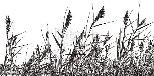 Line art illustration of introduced species marsh grass Phragmites Australis. Common Reed.