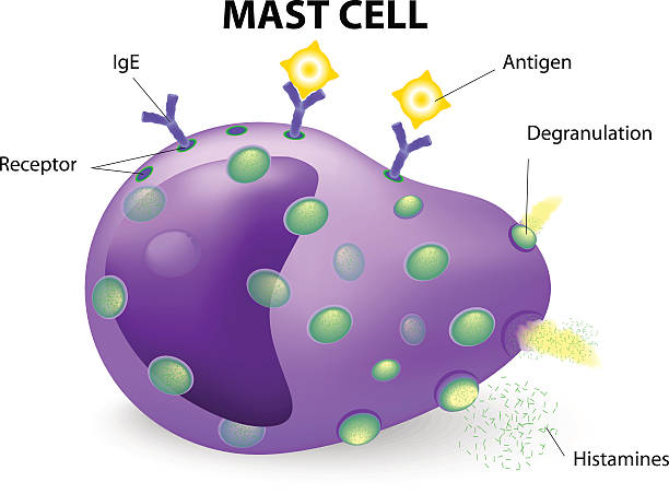 mast cell or a mastocyte, labrocyte white blood cell. mast cell or a mastocyte, labrocyte. mast cells are the cells responsible for causing allergic reactions or anaphylaxis, also aide in the healing of wounds and defense against invading pathogens. inflammation stock illustrations