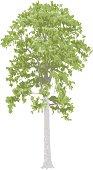 Matai Tree
