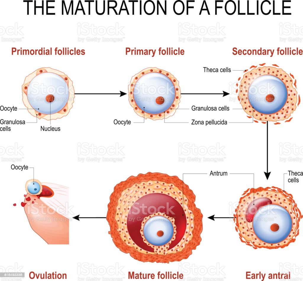 maturation of a follicle vector art illustration