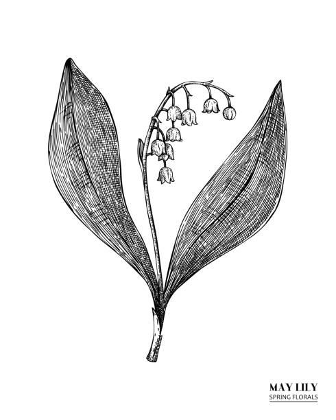 möge lilien-zeichnung - alpenveilchen stock-grafiken, -clipart, -cartoons und -symbole