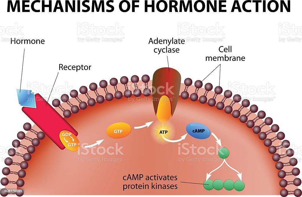 mechanisms of hormone action vector art illustration