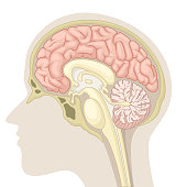 Vector Illustration Of Median section of human brain