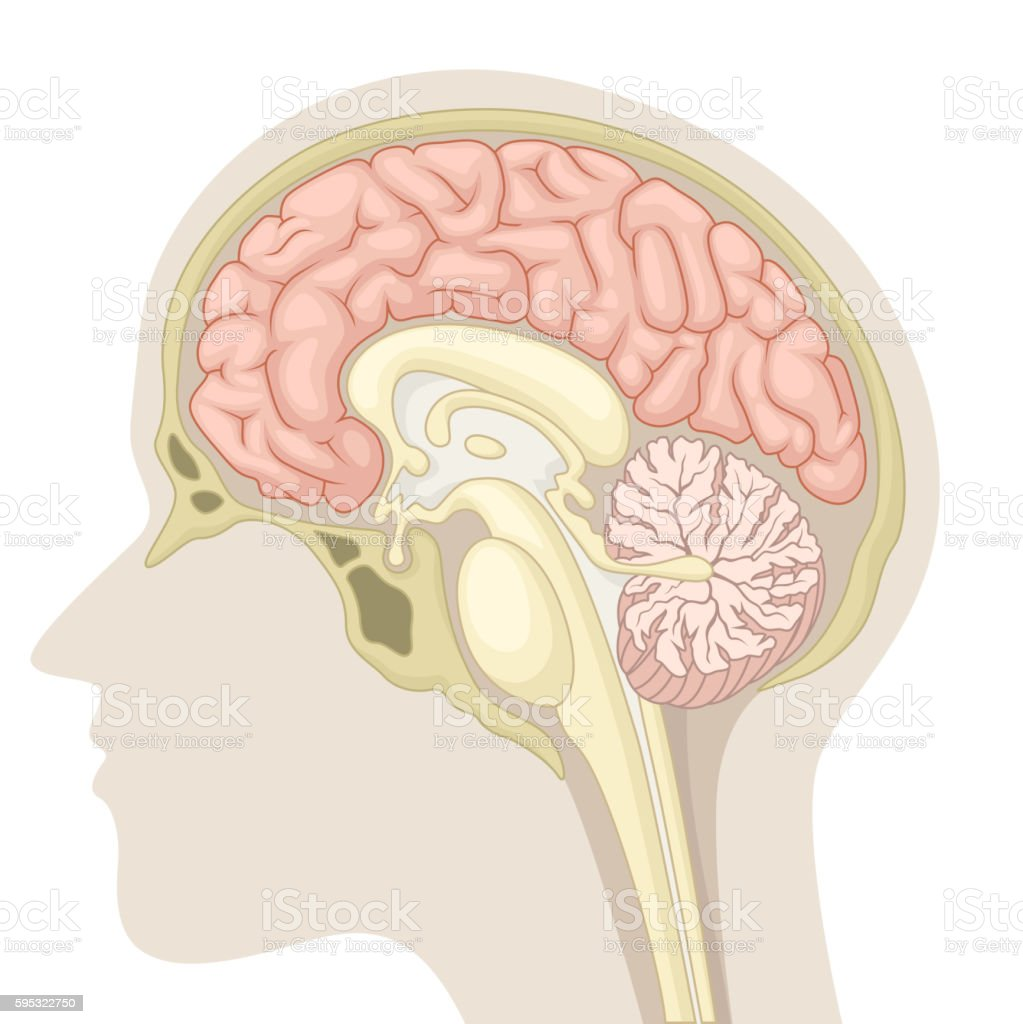 Median section of human brain vector art illustration