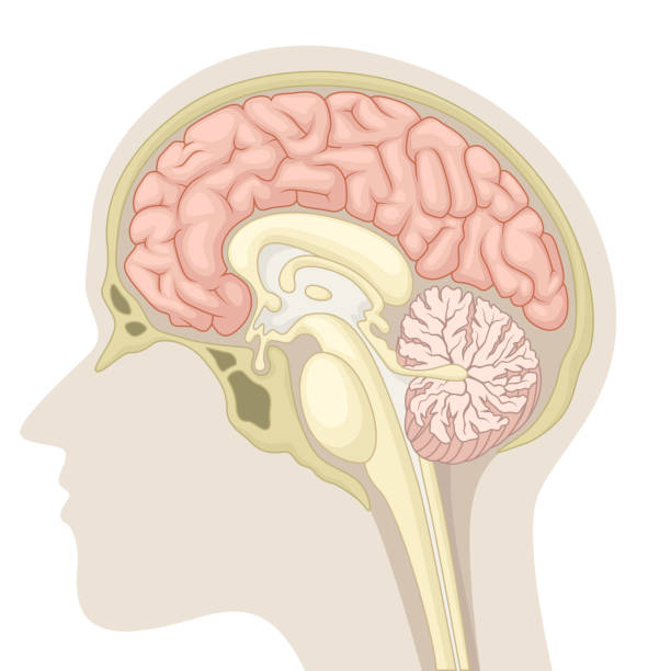 Median section of human brain Vector Illustration Of Median section of human brain brain stem stock illustrations