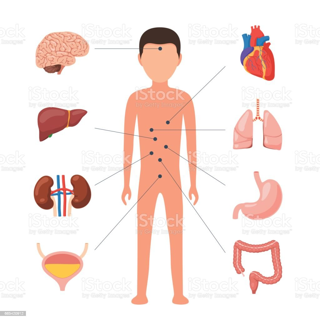 Medical Diagram Human Organs Stock Vector Art & More Images of ...