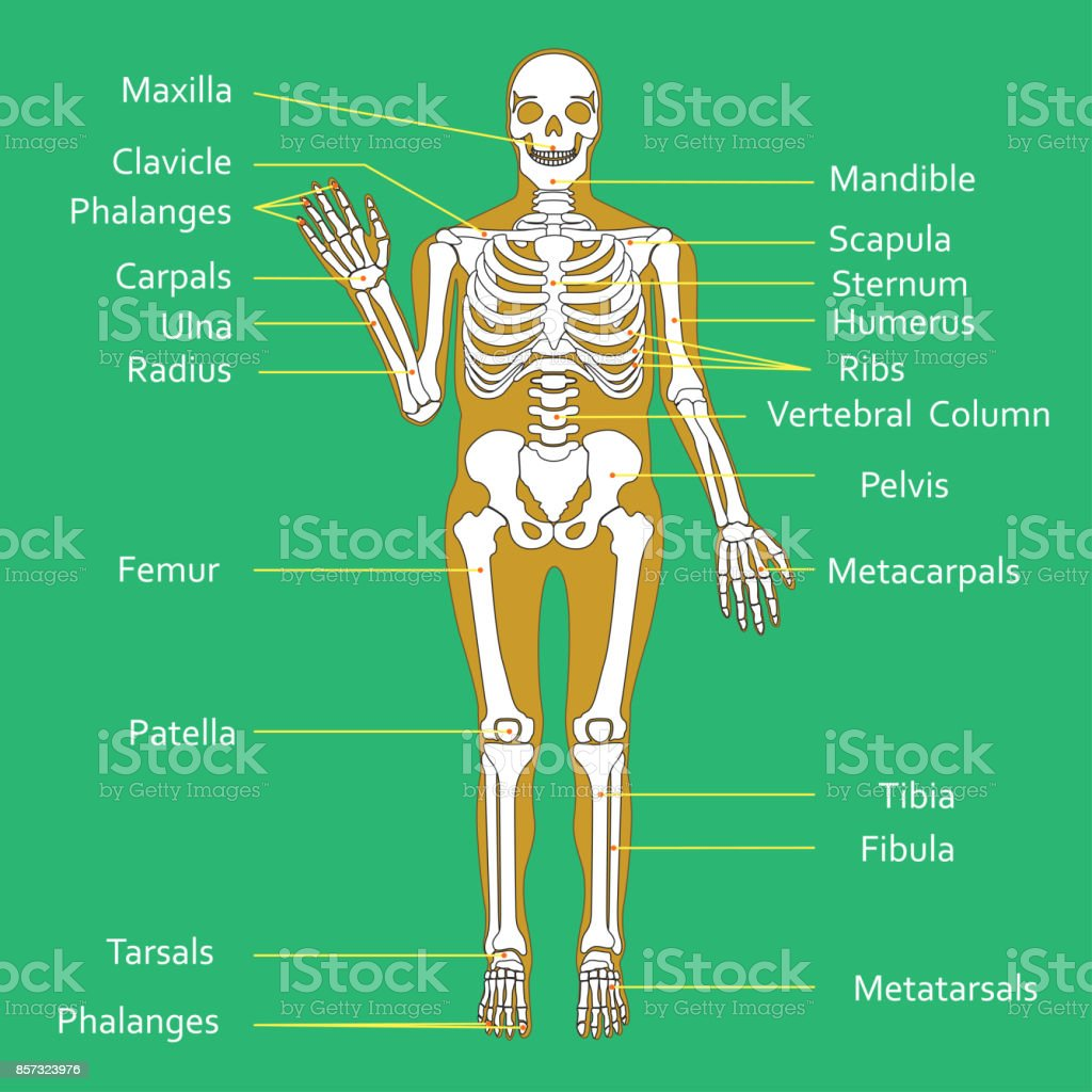 Medical education chart of biology for human skeleton diagram vector medical education chart of biology for human skeleton diagram vector illustration royalty free medical ccuart Choice Image