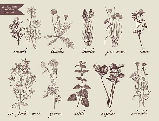 Medical herbs set. Hand drawn design. Medical herbs set. Hand drawn design. Vector lavender plant stock illustrations