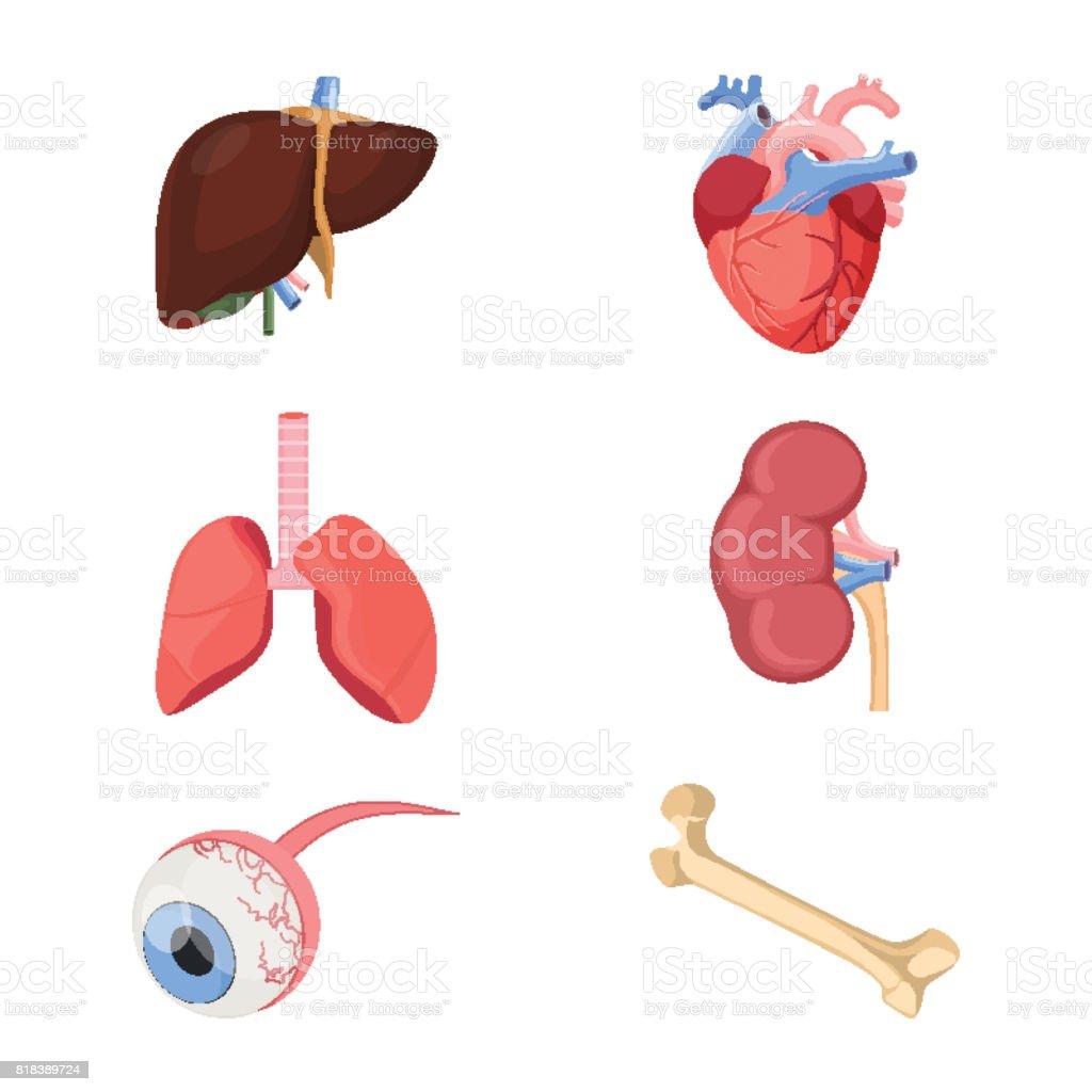 Medizinische Menschlichen Organen Realistische Herz Zwei Lungen ...