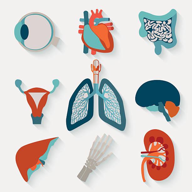 Medical icons of internal human organs Medical icons of internal human organs realised in modern flat design with long shadow. biomedical illustration stock illustrations