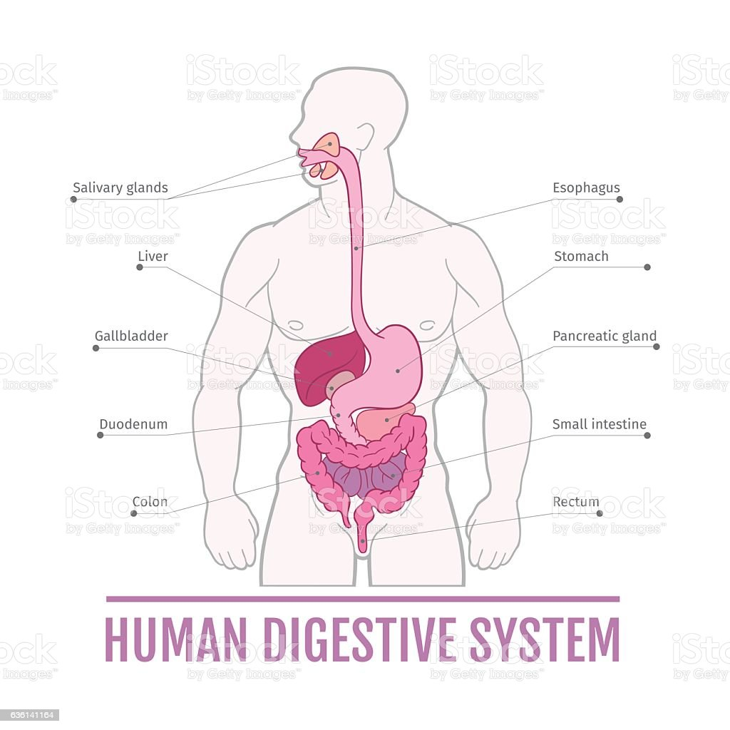 Medical illustration of the human digestive system scheme for medical illustration of the human digestive system scheme for textbooks royalty free medical ccuart Gallery