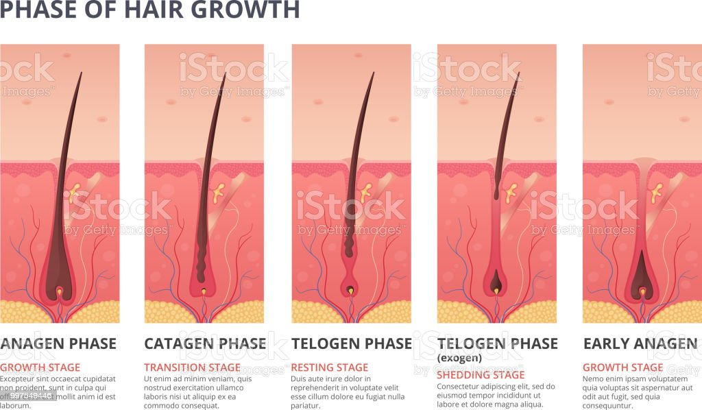 Medical Infographic Illustrations Of Hair Growth Cycle Vector ...