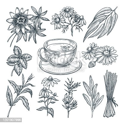 Medical tea herbs set, isolated on white background. Vector hand drawn sketch illustration. Cup with natural healthy herbal beverage and ingredients collection.