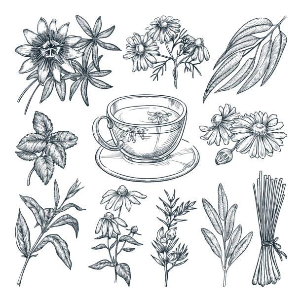 하얀 배경에 고립 된 의료 차 허브 세트. 벡터 손으로 그린 스케치 일러스트 - 시계꽃속 stock illustrations