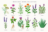 Medicinal herbs and flowers big collection of illustrations in flat design isolated on white background. Chamomile, Aloe vera, Lavender, Calendula, Thyme, Alfalfa, Echinacea, Fennel, Salvia, Mentha