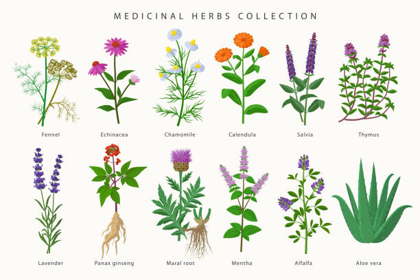 medicinal herbs and flowers big collection of illustrations in flat design isolated on white background. chamomile, aloe vera, lavender, calendula, thyme, alfalfa, echinacea, fennel, salvia, mentha. - aloe vera stock illustrations