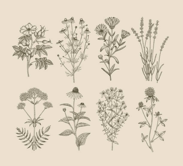 Medicinal herbs. Vector hand drawn collection of medicinal, cosmetics herbs. St. John's Wort, echinacea, lavender, valerian, chamomile, calendula, dog-rose, clover plants. dog rose stock illustrations