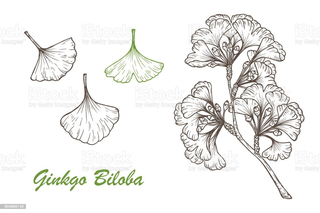 Medicinal plant Set. Hand drawn Ginkgo Biloba Tree. Branches and leaves. Vector illustration. vector art illustration