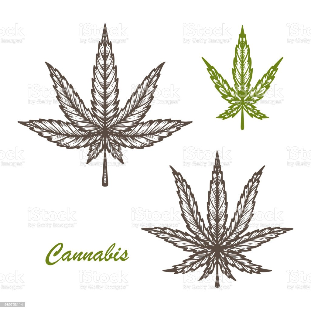 Medicinal Plants Set Cannabis Leaf Sketch Vector Marijuana Leaves Hand Drawn Hemp Leaf Stock Illustration Download Image Now Istock