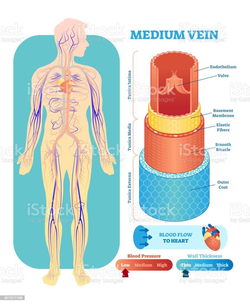 Ilustración de Ilustración De Vector Anatómica Vena Media Sección ...