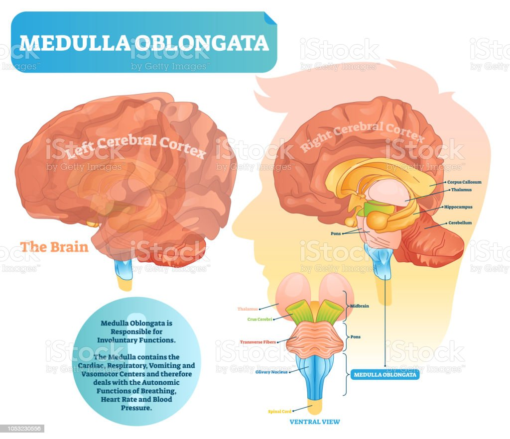 Medulla oblongata vector illustration. Labeled diagram with ventral view. vector art illustration
