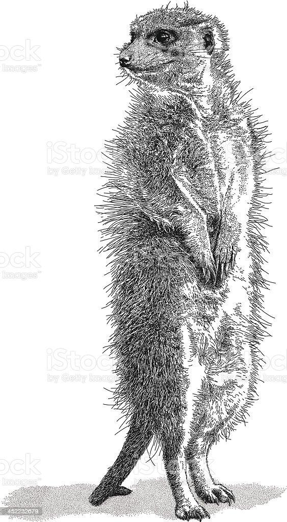 Meerkat vector art illustration