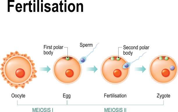 meiose und befruchtung - eizelle stock-grafiken, -clipart, -cartoons und -symbole