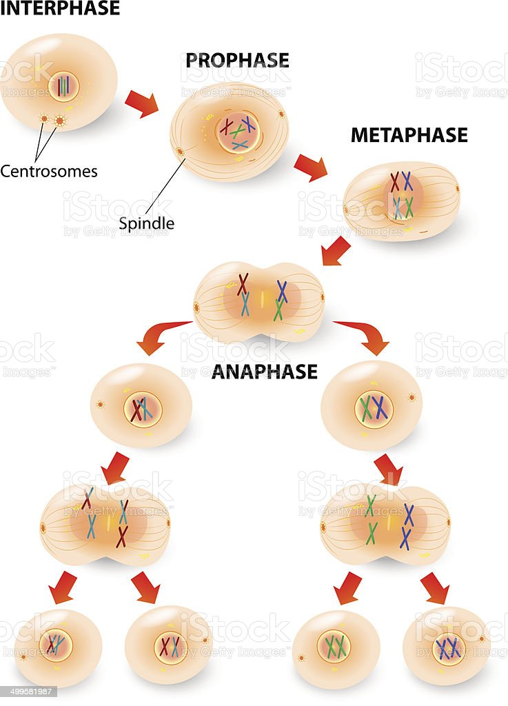 meiosis vector art illustration