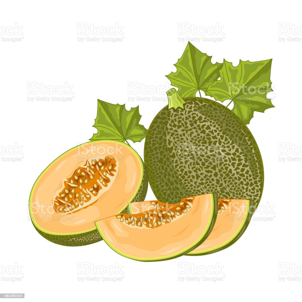 Melon fruit on white background. vector art illustration