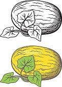 Melon illustration