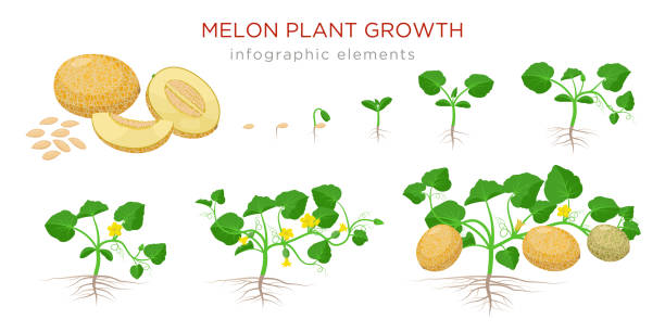 illustrazioni stock, clip art, cartoni animati e icone di tendenza di melon plant growing stages from seeds, seedling, flowering, fruiting to a mature plant with ripe melons - set of botanical illustrations, infographic elements, flat design isolated on white background - melone d'inverno