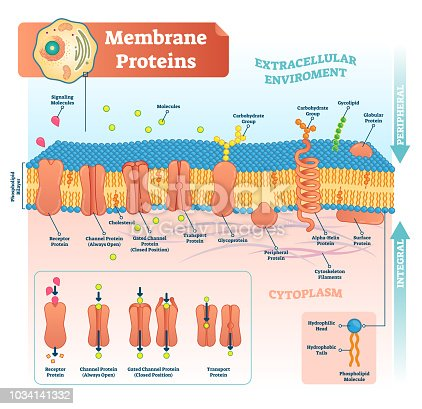 Membrane proteins labeled vector illustration. Detailed microscopic structure scheme. Anatomical diagram with receptor, open channel, closed gated and transport protein.