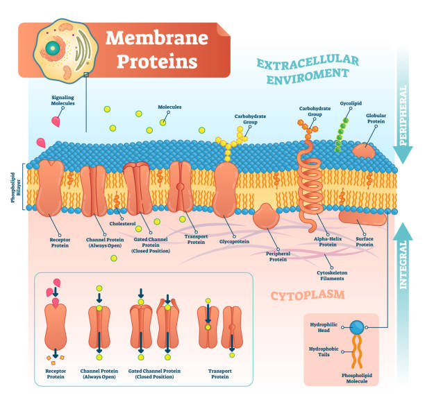 Membrane proteins labeled vector illustration. Detailed structure scheme. Membrane proteins labeled vector illustration. Detailed microscopic structure scheme. Anatomical diagram with receptor, open channel, closed gated and transport protein. glycoprotein stock illustrations