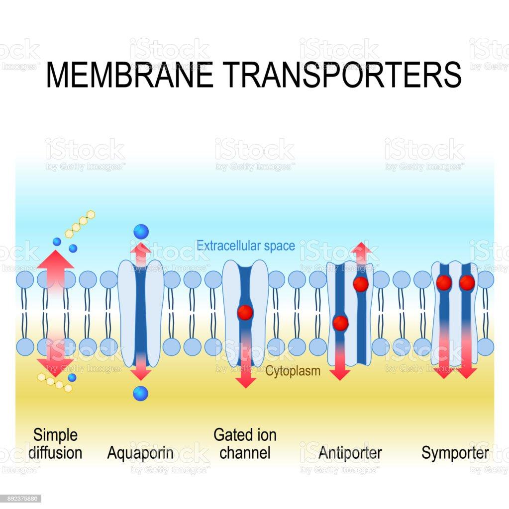 membrane transporters vector art illustration