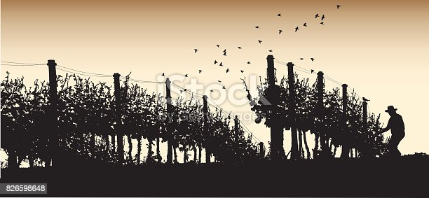 A vector silhouette illustration of a sepia toned farmer working harvesting wine grapes from grapes vines.