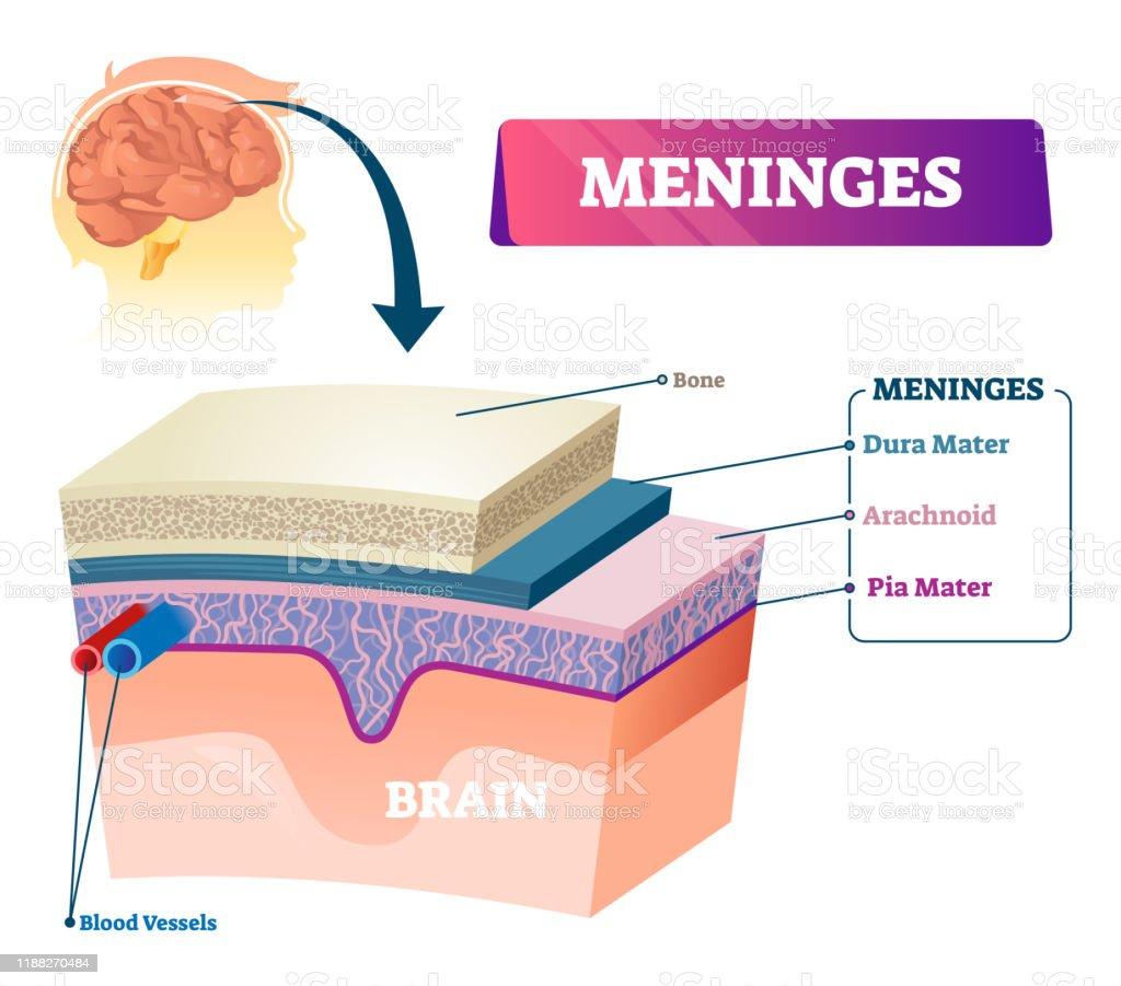 Meninges Vector Illustration Labeled Anatomy Educational