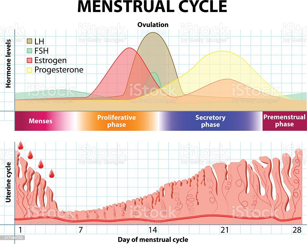 Menstrual cycle. endometrium and hormone vector art illustration