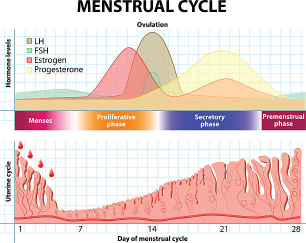 Menstrual cycle. endometrium and hormone Menstrual cycle. Menstruation, Follicle phase, Ovulation and Corpus luteum phase. endometrium and hormone female likeness stock illustrations